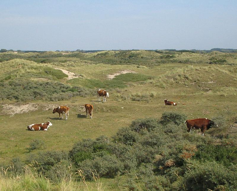 Dutch cattle grazing amongst dunes